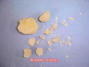 bladder-stones-removed-dog